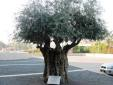700-yr-old-olive-tree