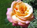 a-rose-from-my-garden