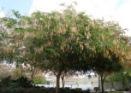 acacia-tree - invasive