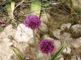 desert-garlic-plant