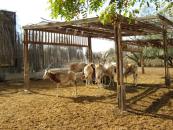 ibex-feeding