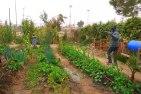 kalisher-community garden
