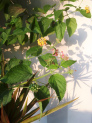 lantana-camara-invasive-bush