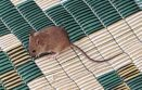 Mouse in Beer-Sheva