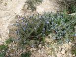 negev-flowers3