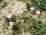 negev-flowers5