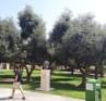 olive-grove-at-bgu2