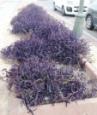 purple-succulent-wandering-jew