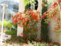 red bottlebrush at BGU
