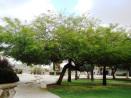 tamarisk-tree