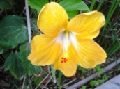 yellow-hibiscus-rosa-sinensis