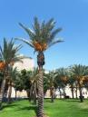 BGU date palm grove