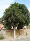 Ficus tree in Neveh Noy