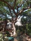 Mature tree 4