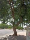Mature tree2