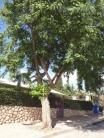 Mature tree4
