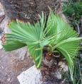 Washingtonia filifera - invasive