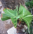 Washingtonia filifera - invasive