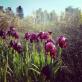 Irises near Be'er-Sheva